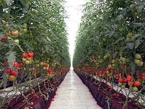 Вирощування помідорів у теплиці