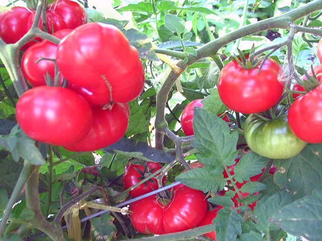 Як правильно вирощувати помідори в теплиці