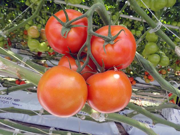 Вирощування помідорів у теплиці з насіння