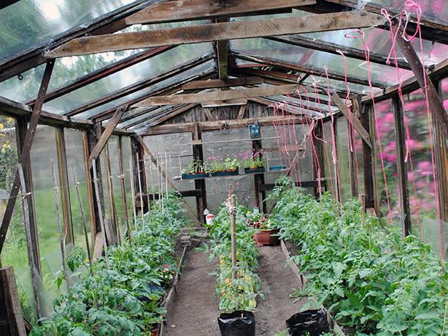 Посадка помідорів у теплиці