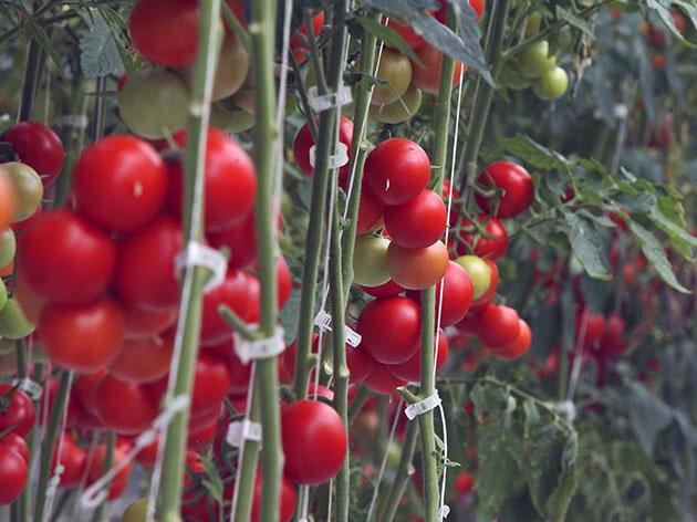Посадка і догляд за помідорами в теплиці
