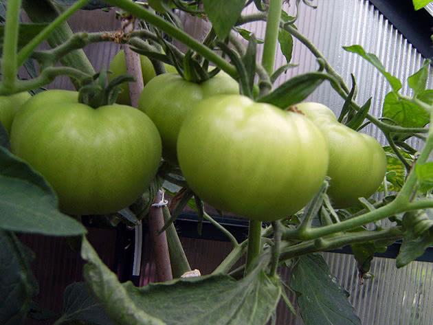 Як саджати і доглядати за помідорами в теплиці