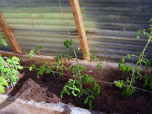 Підв'язування помідорів у теплиці