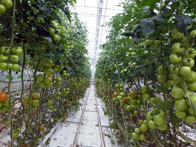 Урожай тепличних помідорів