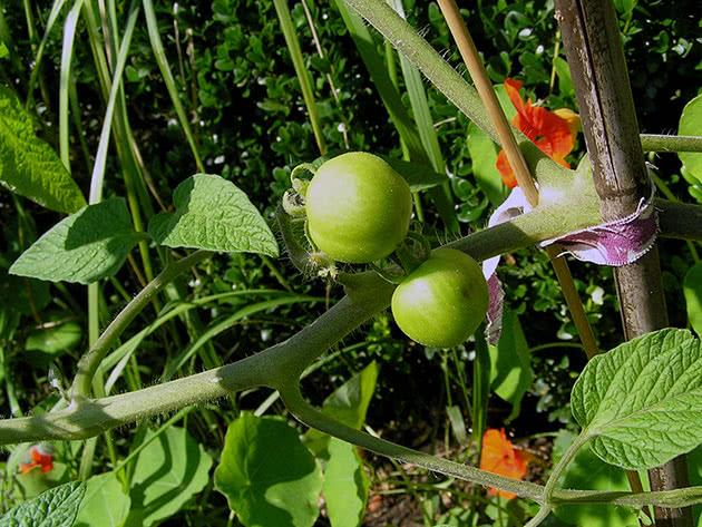 Посадка і догляд за томатами в теплиці