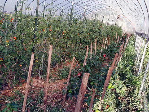 Як виростити помідори в теплиці