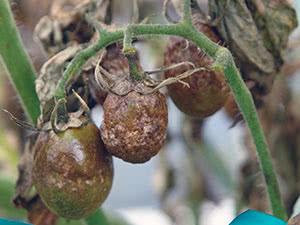 Фитофтора на помидорах – лечение и профилактика