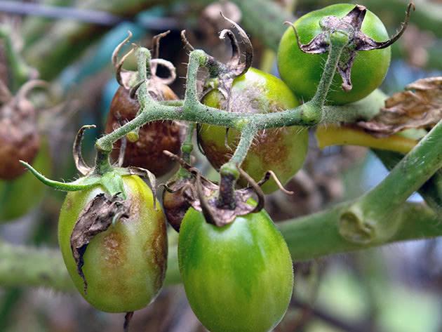 Фитофтороз помидоров и их лечение