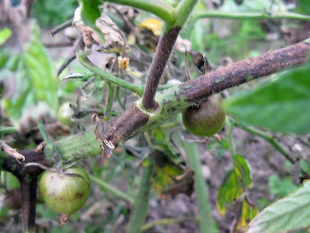 Народные средства лечения фитофторы томатов