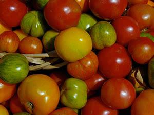 Растение помидор