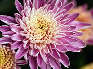 Квітка хризантема