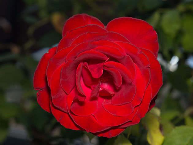 Догляд за трояндами в листопаді