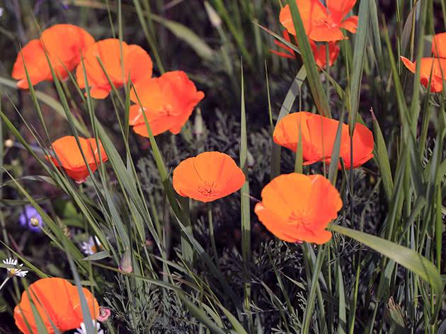 Квітку ешольція саджають у жовтні