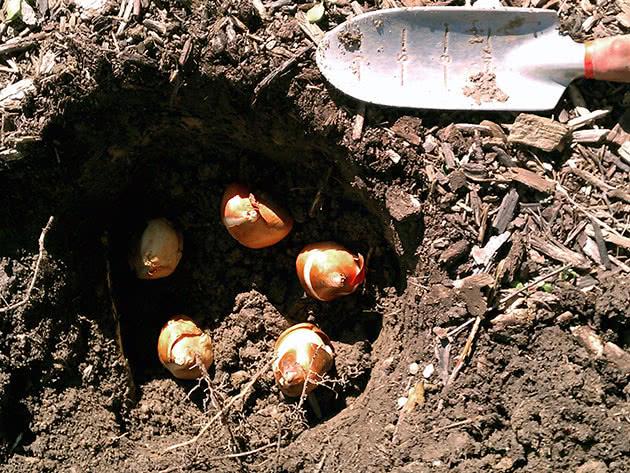 Терміни посадки тюльпанів восени