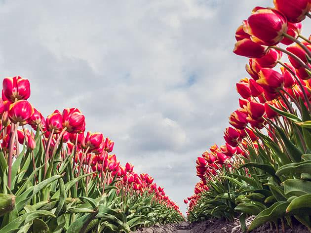 Як саджати тюльпани восени в ґрунт