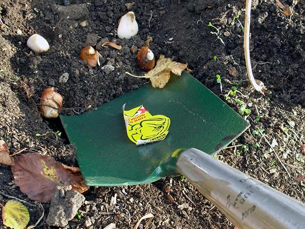 Посадка тюльпанів під зиму в ґрунт