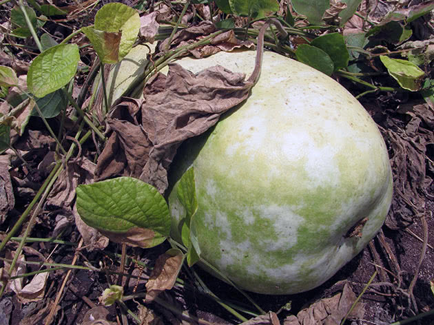 Гарбуз звичайний (лат. Lagenaria siceraria)