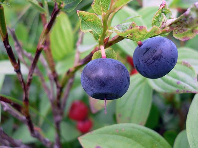 Вирощування чорниці в саду