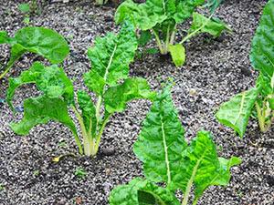 Посев овощей в открытый грунт в апреле