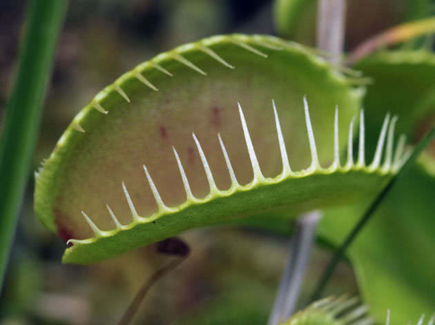 Види і сорти венериної мухоловки
