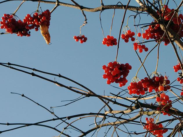 Калина на гілці дерева
