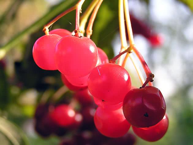 Крупные ягоды калины