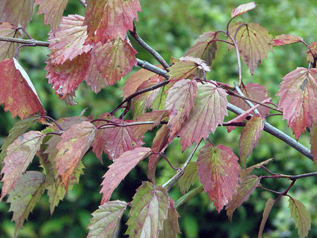Листья калины