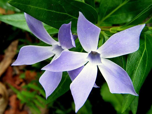 Цветы барвинок
