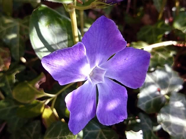 Цветок барвинок