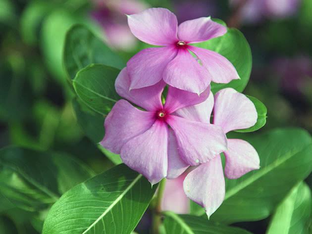 Барвинок розовый / Catharanthus = Vinca rosea = Lochnera rosea
