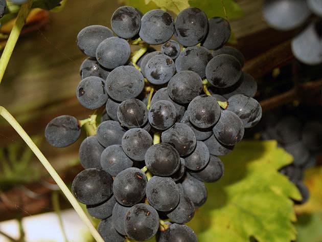 Посадка винограду восени
