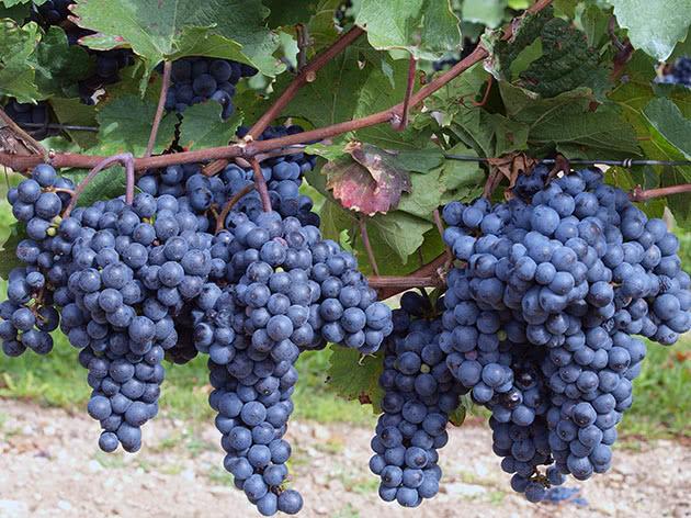 Гарне плодоношення винограду