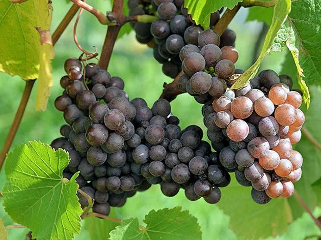 Стиглий виноград