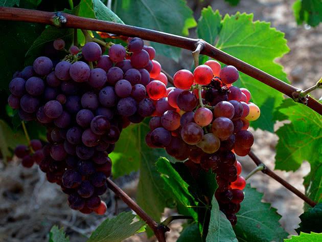 Посадка і догляд за виноградом у саду