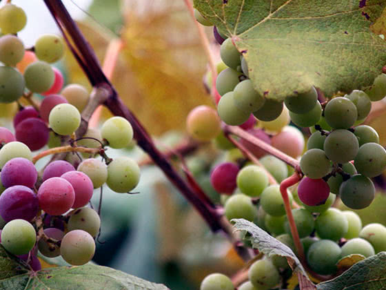 Обрізування винограду в саду