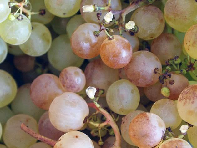 Грона стиглого винограду
