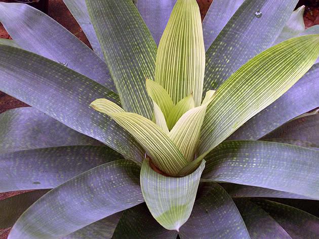 Вриезия гигантская (Vriesea gigantea)