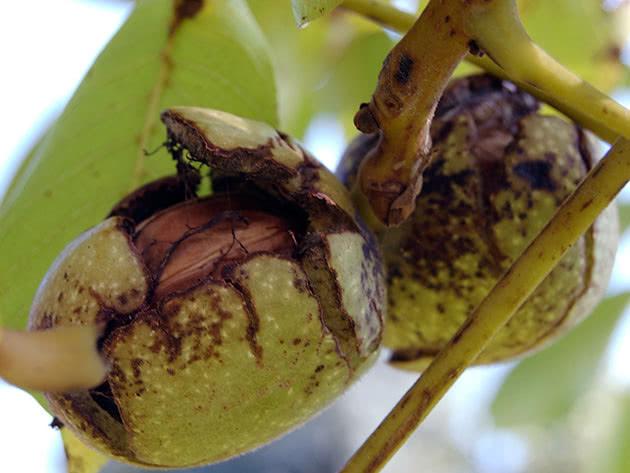 Спелые грецкие орехи на дереве