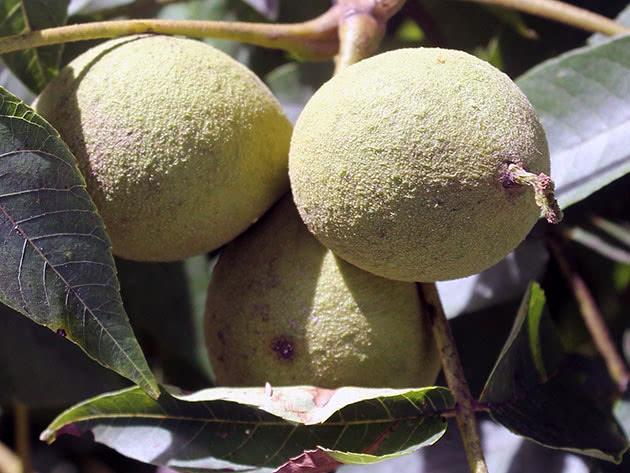 Как выращивать грецкий орех в саду