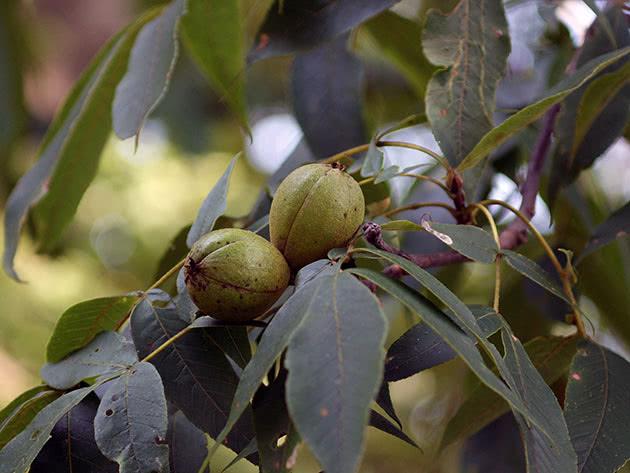 Посадка грецкого ореха и выращивание