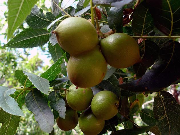 Богатый урожай грецкого ореха