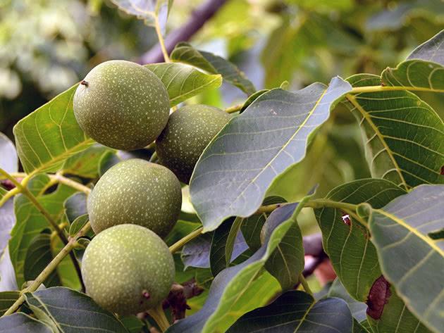 Обрезка и размножение грецкого ореха
