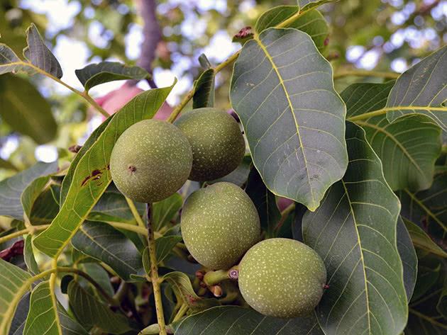 Выращивание грецкого ореха и уход