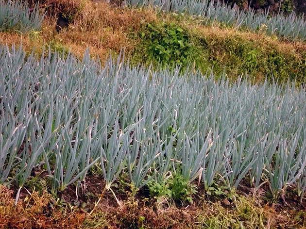 Как вырастить лук-батун из семян в открытом грунте