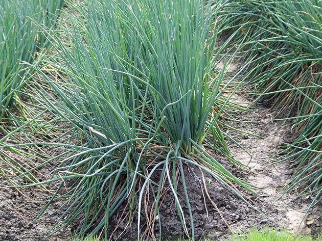 Как правильно выращивать лук-батун на огороде