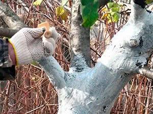 Осенняя побелка плодовых деревьев