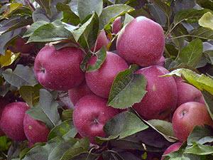 Дерево яблуня