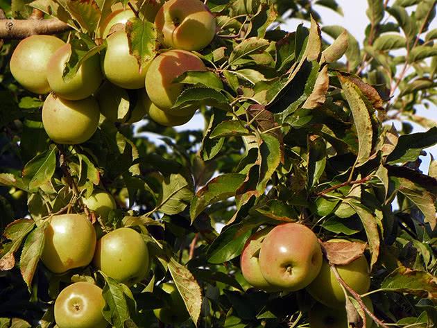 Дерево яблуня з яблуками