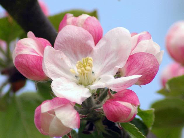 Цвітіння яблуні