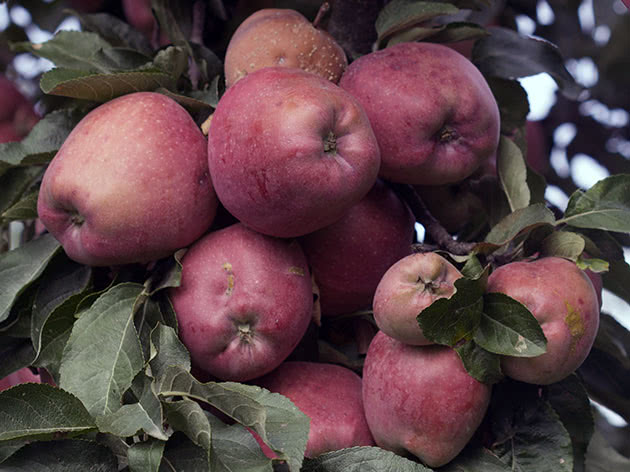 Спелые яблоки на дереве в саду